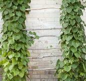 Groene klimplant Stock Foto's