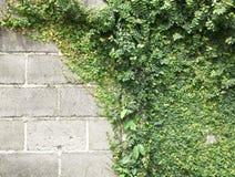 Groene klimplant Stock Foto