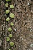 Groene klimplant Royalty-vrije Stock Fotografie