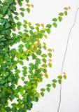 Groene Klimplant op witte muur Stock Fotografie