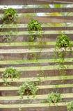 Groene klimplantinstallatie. (Dischidia-nummularia Variegata) Stock Afbeelding