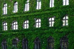 Groene klimplantinstallatie op de bakstenen muur Stock Foto