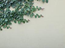 Groene Klimplantinstallatie op oude muur Royalty-vrije Stock Afbeeldingen