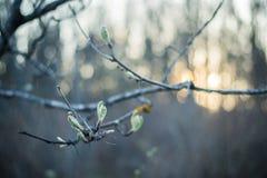 Groene knop op een boomtak in oark Stock Foto