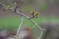 Groene knoppen in de lente Royalty-vrije Stock Foto's