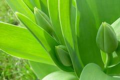 Groene knoppen van tulpen Royalty-vrije Stock Afbeelding