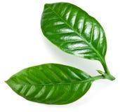 Groene koffiebladeren. Royalty-vrije Stock Afbeelding