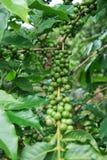 Groene koffiebonen Stock Afbeeldingen