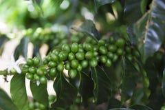 Groene koffiebonen op tak royalty-vrije stock foto