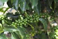 Groene koffiebonen op tak royalty-vrije stock fotografie