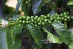 Groene koffiebonen op tak stock foto's