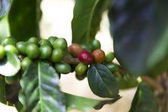 Groene koffiebonen op tak royalty-vrije stock afbeeldingen