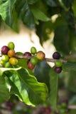 Groene koffiebonen op tak stock foto