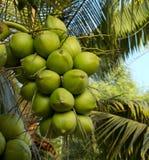 Groene kokosnoot Stock Foto