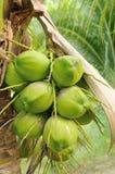 Groene kokosnoot bij boom Royalty-vrije Stock Afbeeldingen