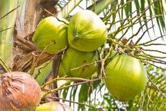 Groene kokosnoot bij boom Royalty-vrije Stock Fotografie