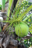 Groene kokosnoot bij boom Stock Foto's