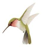 Groene kolibrie vector illustratie