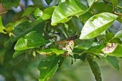 Groene kolibrie in zijn uiterst klein nest, Venezuela royalty-vrije stock foto