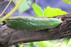 Groene komkommer Royalty-vrije Stock Foto's