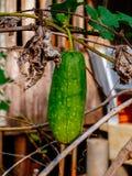 Groene komkommer Royalty-vrije Stock Afbeeldingen