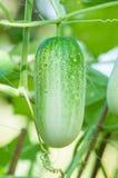 Groene komkommer op boom Stock Foto's