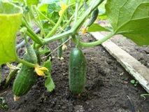 Groene komkommers ingedeukt op Bush Royalty-vrije Stock Foto