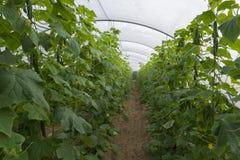 Groene Komkommerserre stock foto's