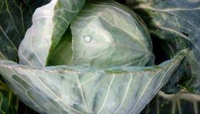 Groene kool Ecologisch landbouwbedrijf stock afbeeldingen