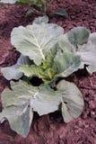 Groene kool Ecologisch landbouwbedrijf royalty-vrije stock foto's