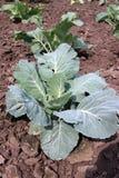 Groene kool Ecologisch landbouwbedrijf stock foto's