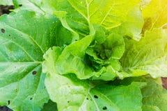 Groene kool in plantaardige percelen stock afbeeldingen