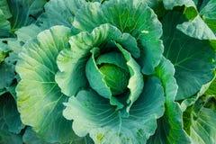 Groene koolpalm Stock Foto's