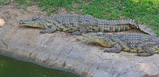Groene krokodil Royalty-vrije Stock Foto