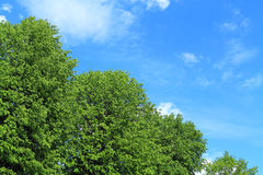 Groene kronen tegen de achtergrond van de blauwe hemel Stock Foto