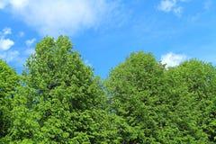 Groene kronen tegen de achtergrond van de blauwe hemel Stock Afbeelding