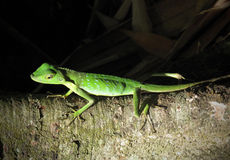 Groene KuifHagedis, Borneo stock foto's
