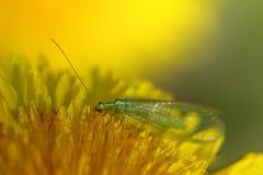 Groene lacewings Stock Afbeelding