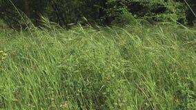 Groene lange onkruidkruiden die door de wind worden geblazen stock videobeelden