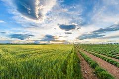 Groene lavendelgebieden Stock Foto's