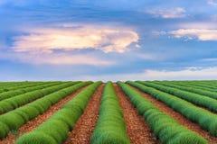 Groene lavendelgebieden Royalty-vrije Stock Afbeeldingen