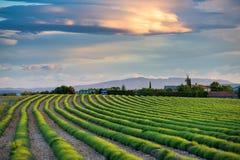 Groene lavendelgebieden bij zonsondergang Royalty-vrije Stock Fotografie