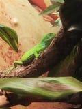 Groene leguaan stock foto