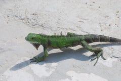 Groene Leguaan die over een Weg op het Strand lopen Stock Fotografie