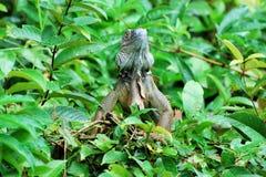 """Groene leguaan in een boom - grote species van hagedis - Midden-Amerika †""""Costa Rica Royalty-vrije Stock Afbeeldingen"""