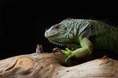 Groene Leguaan op tak Royalty-vrije Stock Afbeeldingen