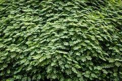 Groene levende muur Royalty-vrije Stock Afbeelding