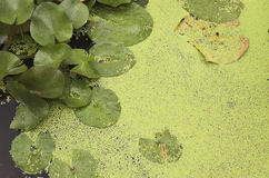 Groene lillypads Royalty-vrije Stock Foto