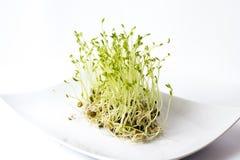 Groene linzenspruiten Stock Foto