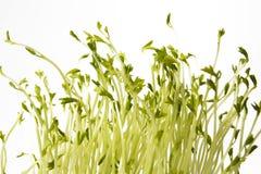 Groene linzenspruiten Stock Afbeeldingen